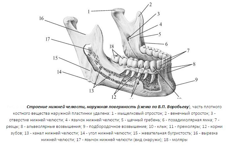 Изображение - Верхнечелюстной сустав подвывих nizhniaya-chelyust-shema-stroeniya