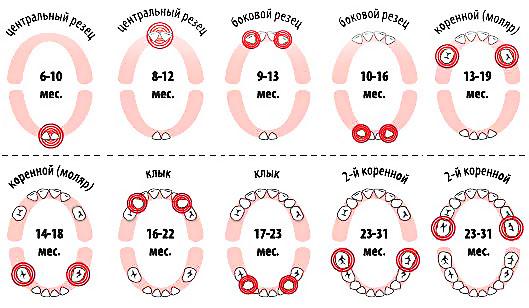 Прорезывание зубов у детей: схема